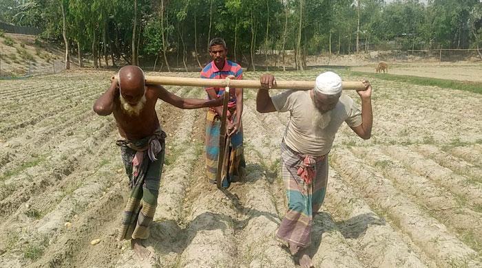 গরু-না-থাকায়-লাঙল-টানলেন-দুই-বৃদ্ধ!