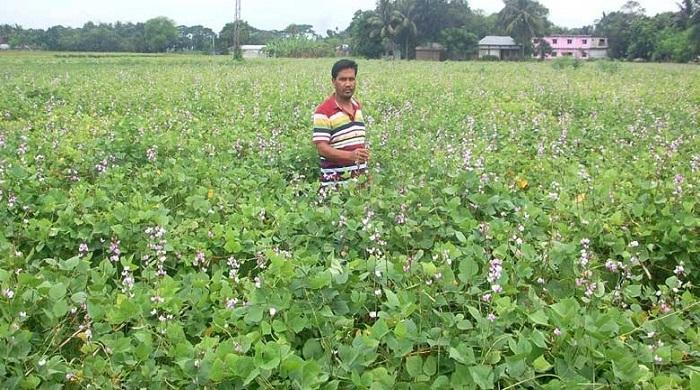 অটো-ও-বিষ্টুট-শিম-আবাদ-করে-চুয়াডাঙ্গার-কৃষকরা-বেজায়-খুশি
