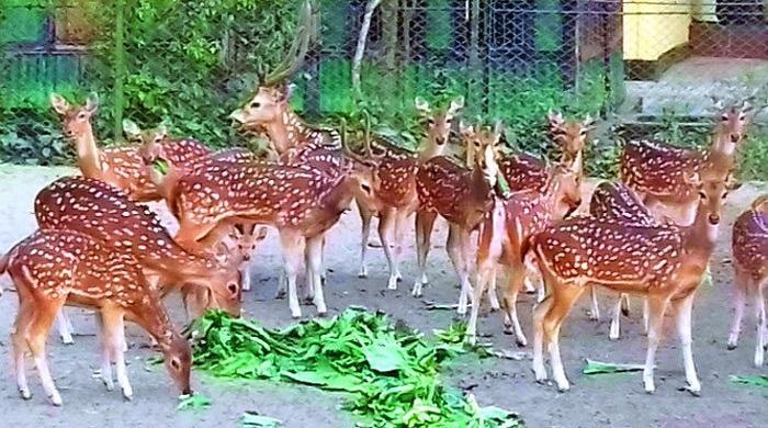 এবার-৫০-হাজার-টাকায়-কেনা-যাবে-চিড়িয়াখানার-হরিণ